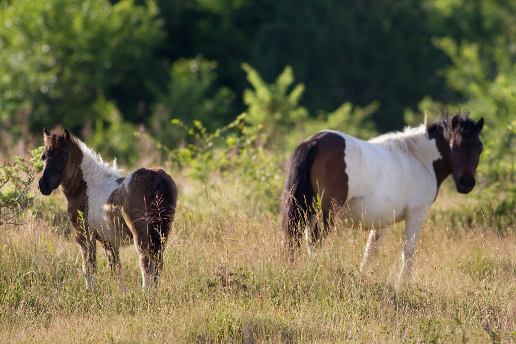 Konji_Njivice